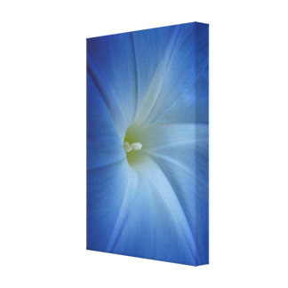 Heavenly Blue Morning Glory Close-Up Gallery Wrap Canvas