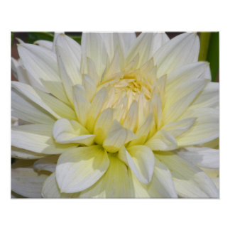 Heavenly White Dahlia Poster
