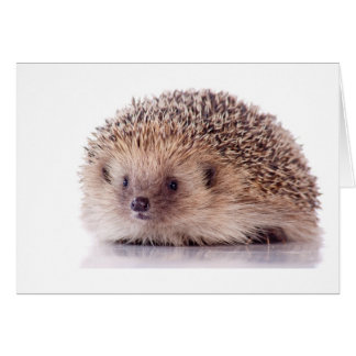 Hedgehog, Card