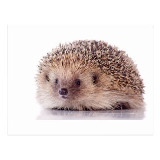 Hedgehog, Postcard