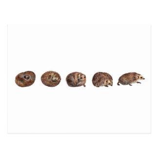 Hedgehogs in a line postcard