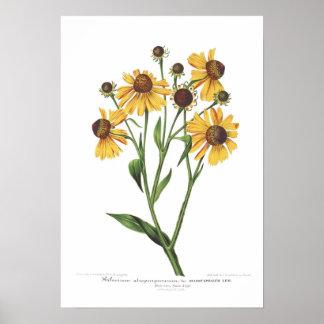 Helenium atropurpureum poster