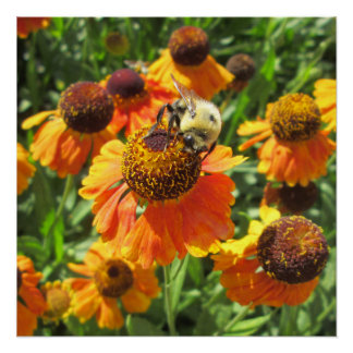 Helenium Bee Orange Flower