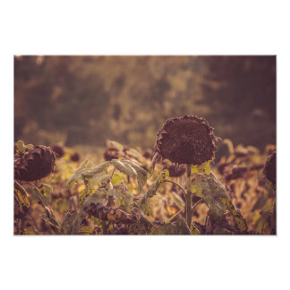 Helianthus Annuus Photo
