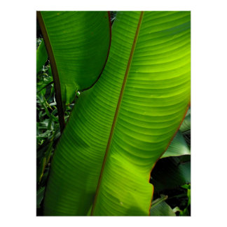 Heliconia Leaves Poster