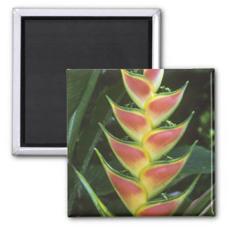 Heliconias, Heliconia walkeriana), La Selva Square Magnet
