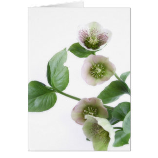 Hellebore blank greetings card