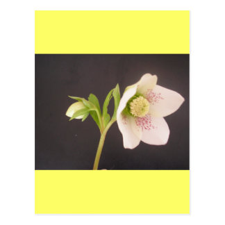 Hellebore Flower Card