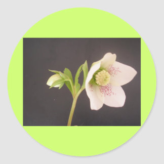 Hellebore Flower sticker