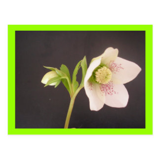 Hellebore Flower white with dark background Postcard
