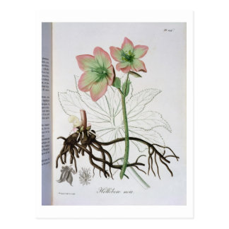 Helleborus Niger from 'Phytographie Medicale' by J Postcard