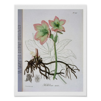 Helleborus Niger from 'Phytographie Medicale' by J Poster