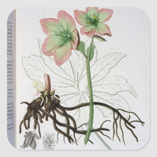 Helleborus Niger from 'Phytographie Medicale' by J Square Sticker
