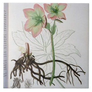 Helleborus Niger from 'Phytographie Medicale' by J Tile