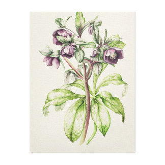 Helleborus Orientalis from Helen Ballard Canvas Print