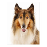 Hello Collie Puppy Dog Post Card