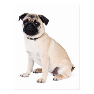 Hello Pug Puppy Dog Greeting Postcard