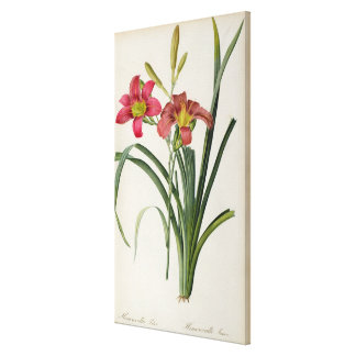Hemerocallis fulva, from `Les Liliacees', 1805 Canvas Print