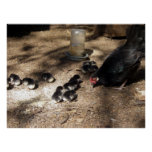 Hen And Baby Chicks Poster