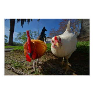 hen and rooster poster