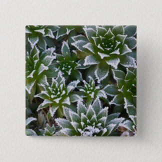 Hen & Chicks succulent with frost in the early 15 Cm Square Badge