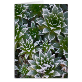 Hen & Chicks succulent with frost in the early Card