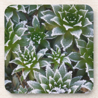 Hen & Chicks succulent with frost in the early Coaster