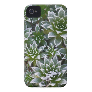 Hen & Chicks succulent with frost in the early iPhone 4 Case-Mate Case