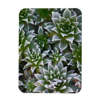 Hen & Chicks succulent with frost in the early Magnet