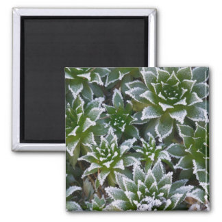 Hen & Chicks succulent with frost in the early Refrigerator Magnets