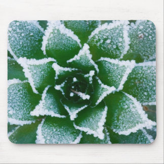 Hen & Chicks succulent with frost in the early Mouse Mat