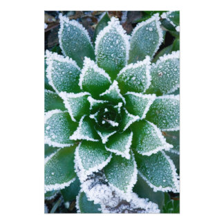 Hen & Chicks succulent with frost in the early Photo Print