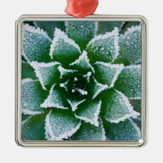 Hen & Chicks succulent with frost in the early Silver-Colored Square Decoration