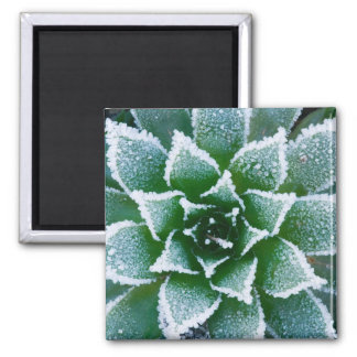 Hen & Chicks succulent with frost in the early Square Magnet