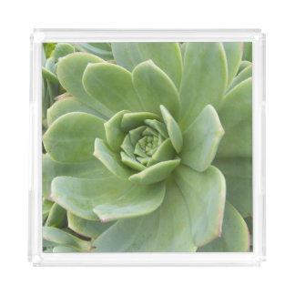 Hens and Chicks Plant