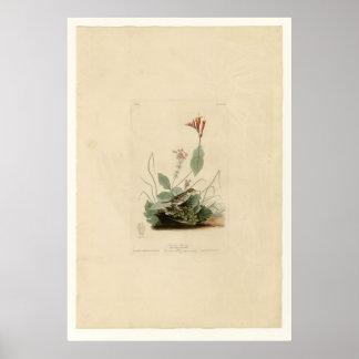 Henslow's Bunting Print