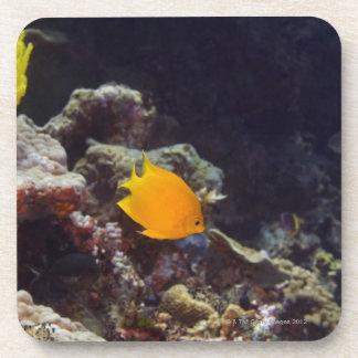 Herald's angelfish (Centropyge heraldi) swimming Drink Coaster