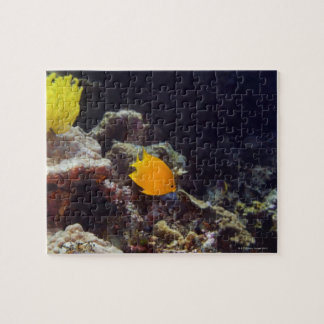 Herald's angelfish (Centropyge heraldi) swimming Jigsaw Puzzle