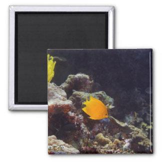 Herald's angelfish (Centropyge heraldi) swimming Magnet
