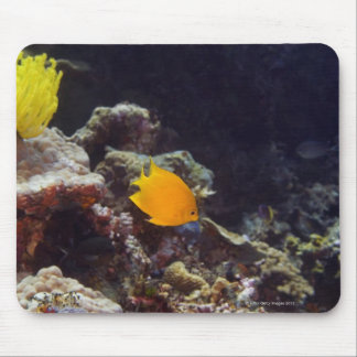 Herald's angelfish (Centropyge heraldi) swimming Mouse Mat