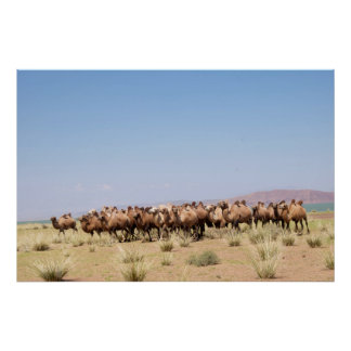 Herd of Bactrian Camels Poster