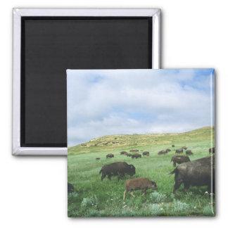 Herd of bison graze prairie grass at Theodore Magnet