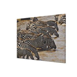 Herd of Burchell's Zebras drinking from Mara Canvas Prints