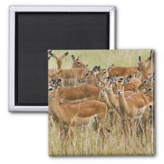 Herd of female Impala, Masai Mara, Kenya. Magnet