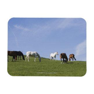 herd of horses on meadow magnet