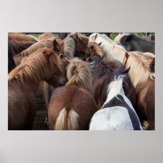Herd of Icelandic horse Print