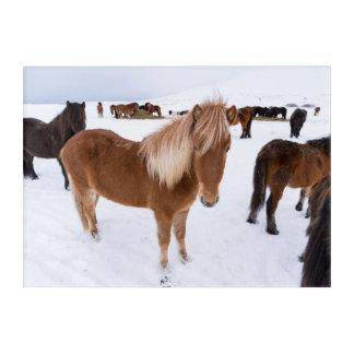 Herd of Icelandic Horses in Winter Acrylic Print