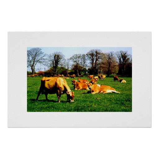 HERD OF JERSEY COWS POSTER