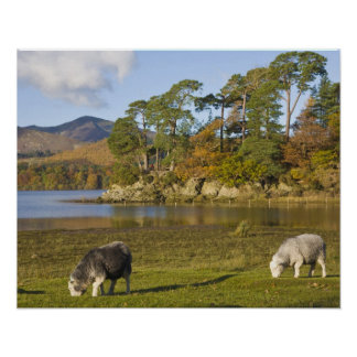 Herdwick sheep at Friars Crag, Derwentwater, 2 Poster