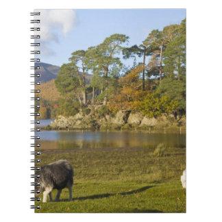 Herdwick sheep at Friars Crag, Derwentwater, 2 Spiral Note Book